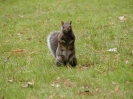 Vancouver_Squirell